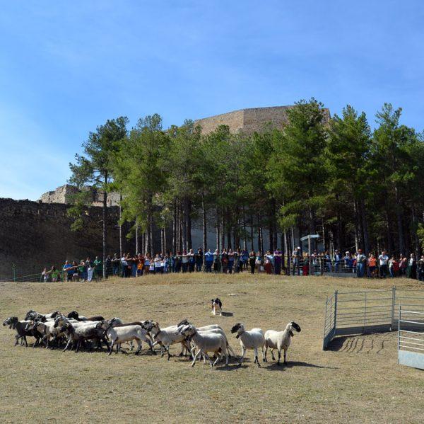 763a Fira de Morella. Exhibició de gossos pastors